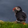 Puffin Faroe Islands