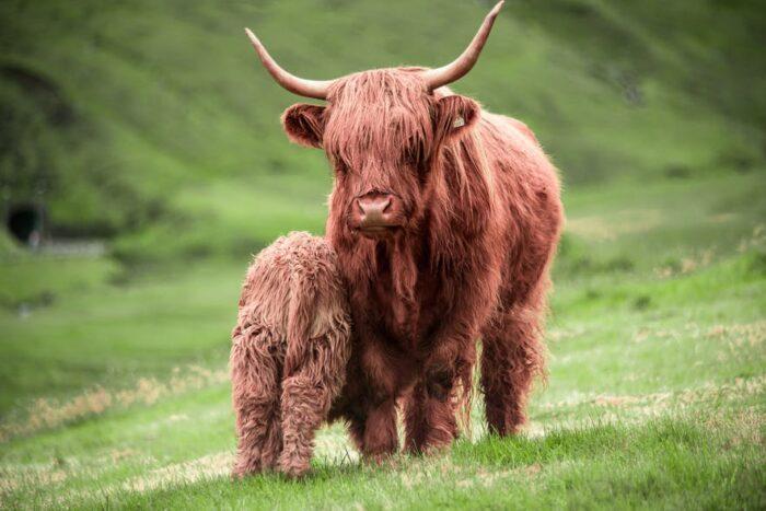 Highland cattle - Guide to Faroe Islands