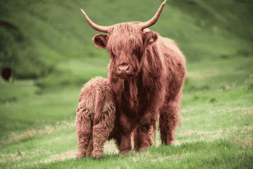 Cattle Faroe Islands