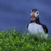 Puffin Faroe Islands - 22 (2)