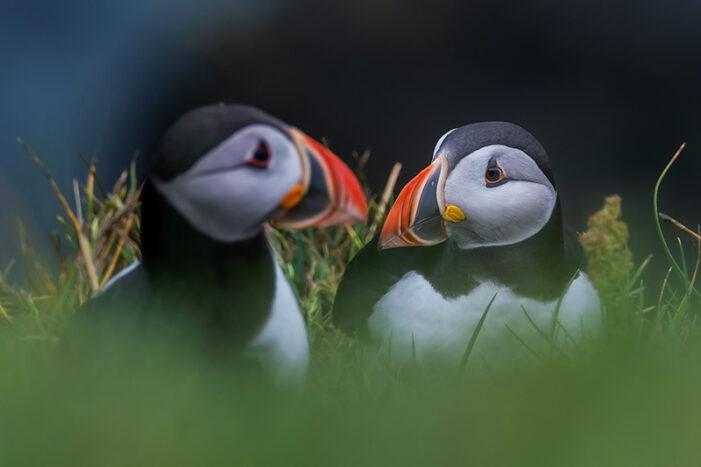 Puffins Faroe Islands - 3