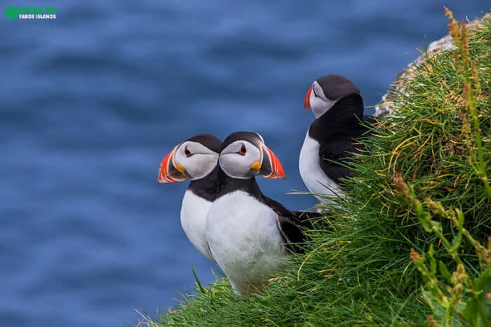 Puffins Faroe Islands - 8
