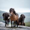 horse-faroe-islands